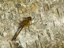 Dragonfly on wood Stock Photo