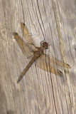 Dragonfly on wood Royalty Free Stock Photos
