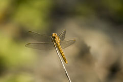Dragonfly. On a wood, four wings Royalty Free Stock Photo