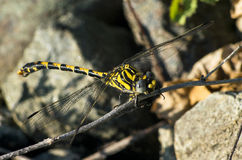 Dragonfly. On a wood, four wings Royalty Free Stock Images