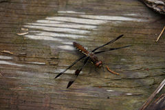 Dragonfly on Wood. A dragonfly lands for a moment of rest on an old piece of wood Royalty Free Stock Photography