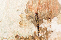 Dragonfly on Wooden Background Royalty Free Stock Photography