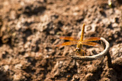 Dragonfly in wooden background Stock Images