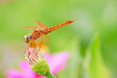 Dragonfly in wooden background Royalty Free Stock Photo