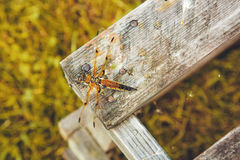Dragonfly on the wooden board. Royalty Free Stock Photo