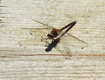 Dragonfly on wooden surface Stock Images