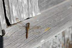 Dragonfly wygrzewa się w lata słońcu na deskach obraz royalty free