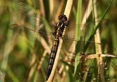 Dragonfly wygrzewa się w słońcu zdjęcia royalty free