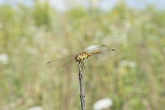 Dragonfly wygrzewa się 2 Obrazy Stock