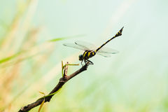 Dragonfly. Yellow and black dragonfly in garden Royalty Free Stock Photography