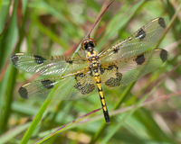 Dragonfly in Yellow and Black Stock Image