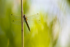 Dragonfly, yellow darter (Sympetrum flaveolum) sitting on a reed. Straw Stock Photos