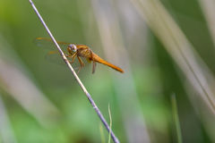 Dragonfly, yellow darter (Sympetrum flaveolum) sitting on a reed. Straw Stock Images
