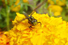 Dragonfly on a yellow flower Stock Photo