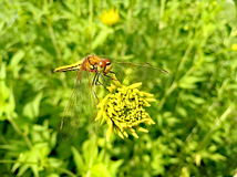 Dragonfly on yellow flower in green grass Royalty Free Stock Photo