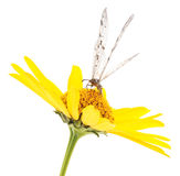 Dragonfly on yellow flower. Royalty Free Stock Photo
