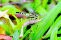 Dragonfly. A yellow dragonfly on the green grass Royalty Free Stock Image