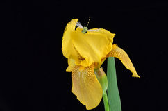 Dragonfly on Yellow Iris Stock Photography