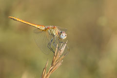 Dragonfly yellow lat. Sympetrum flaveolum. On dry grass Stock Image