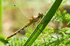 Dragonfly yellow lat. Sympetrum flaveolum on green grass. Macro Stock Photos
