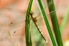 Dragonfly yellow lat. Sympetrum flaveolum sitting on green grass. Macro Royalty Free Stock Photography