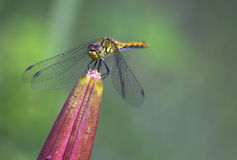 Dragonfly yellow (S. flaveolum). Royalty Free Stock Images