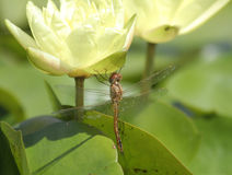 Dragonfly on Yellow Waterlily Royalty Free Stock Images