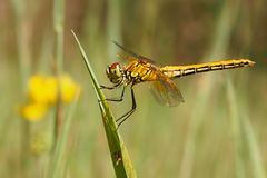 Dragonfly, Yellow-winged darter Sympetrum flaveolum. Dragonfly , Yellow-winged darter Sympetrum flaveolum Royalty Free Stock Image