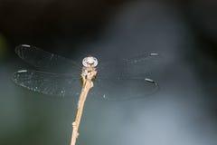 Dragonfly z abstrakcjonistycznym tłem Fotografia Royalty Free