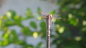 Dragonfly z krystalicznymi złocistymi skrzydłami jest zdjęcie wideo