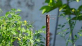 Dragonfly z krystalicznymi złocistymi skrzydłami jest zbiory