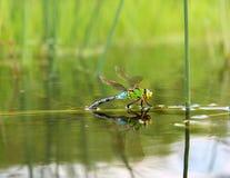 Dragonfly z odbiciem w wodzie Obrazy Royalty Free