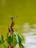 Dragonfly @ Złoty pawilon, Kyoto, Japonia Zdjęcia Royalty Free