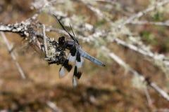 Dragonfly z pasiastymi skrzydłami Zdjęcia Royalty Free