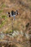 Dragonfly z pasiastymi skrzydłami Fotografia Royalty Free
