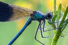 Dragonfly z rosa kroplami zdjęcia stock