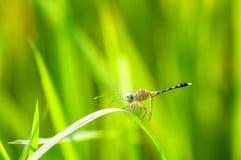 Dragonfly z rosa kroplami Zdjęcie Royalty Free