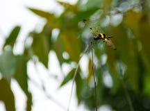 Dragonfly z skrzydłami stronniczo drzejącymi Obraz Royalty Free