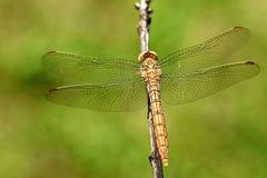 Dragonfly z szerokimi skrzydłami Zdjęcia Stock