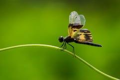 Dragonfly z zielonym natury tłem Obraz Stock