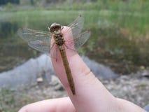 Dragonfly zaufania Obrazy Stock