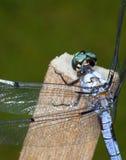 Dragonfly zbliżenie Zdjęcia Stock