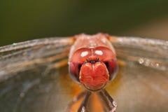Dragonfly zbliżenie Obrazy Royalty Free