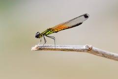 dragonfly2 Royaltyfri Fotografi