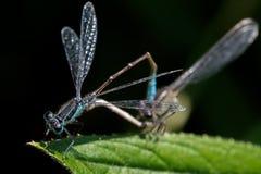2 dragonflyes Стоковые Изображения RF