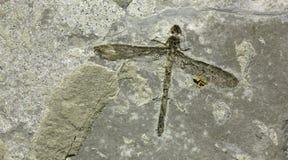 蜻蜓化石 免版税图库摄影