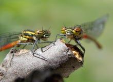 Dragonflys Стоковые Фотографии RF