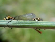 Dragonflys Стоковая Фотография