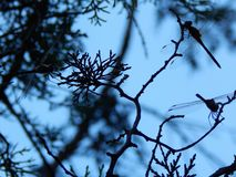 Dragonflys Стоковые Изображения