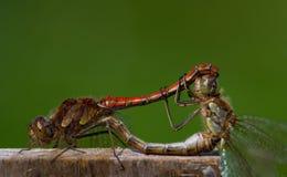 Dragonflys som parar ihop med klar bakgrund Arkivfoto